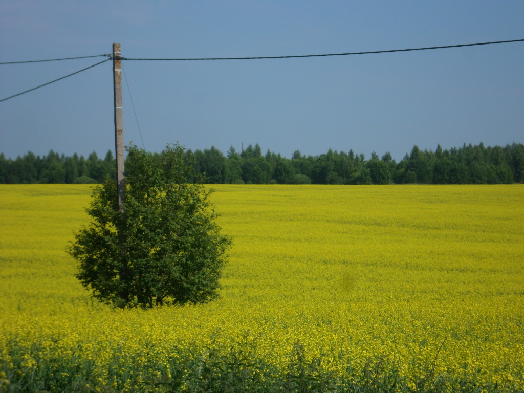 One more mustard field