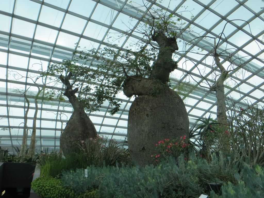 """Some of the """"bottle trees"""" in the Flower Dome. They evolved in arid climates to store moisture in those bottles, which is why you don't see any of them in Minnesota."""