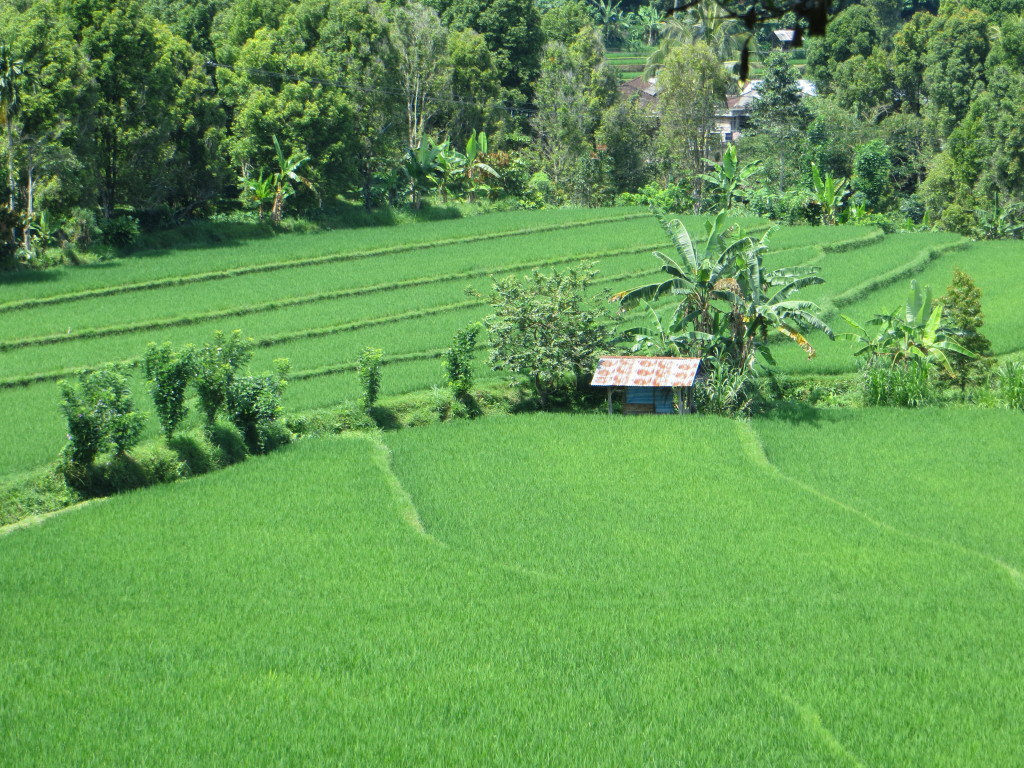 One of a million shots of rice fields in Bali