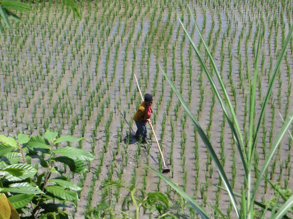 """Lest you wonder if the rice fields were just photo ops, they were real. Here a woman is """"cleaning"""" the young rice field"""