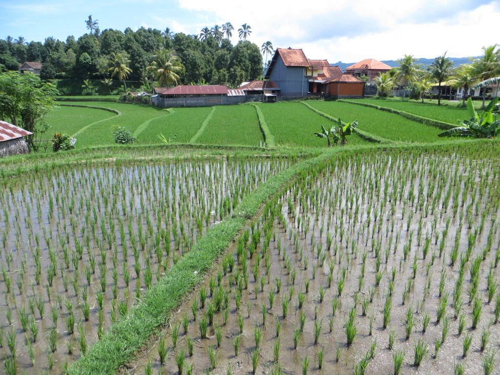 Did I warn you there'd be pictures of rice fields?