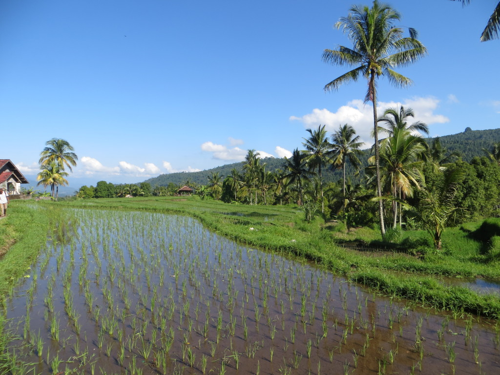 And ever more rice fields