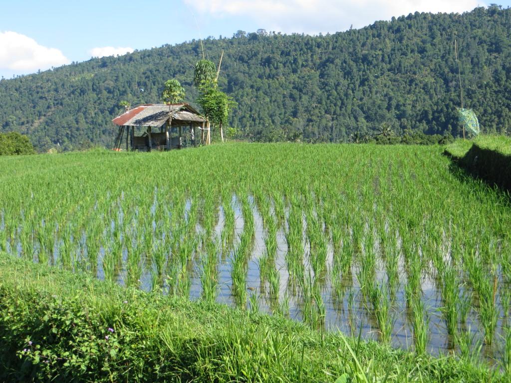 OK, one last rice field
