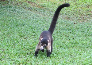 We see lots of cute coatis on the grounds here