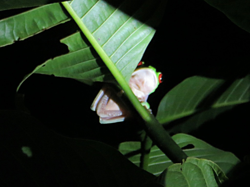 The red-eyed tree frog is synonymous with Costa Rica. Philip found this guy for us in the dead of night.