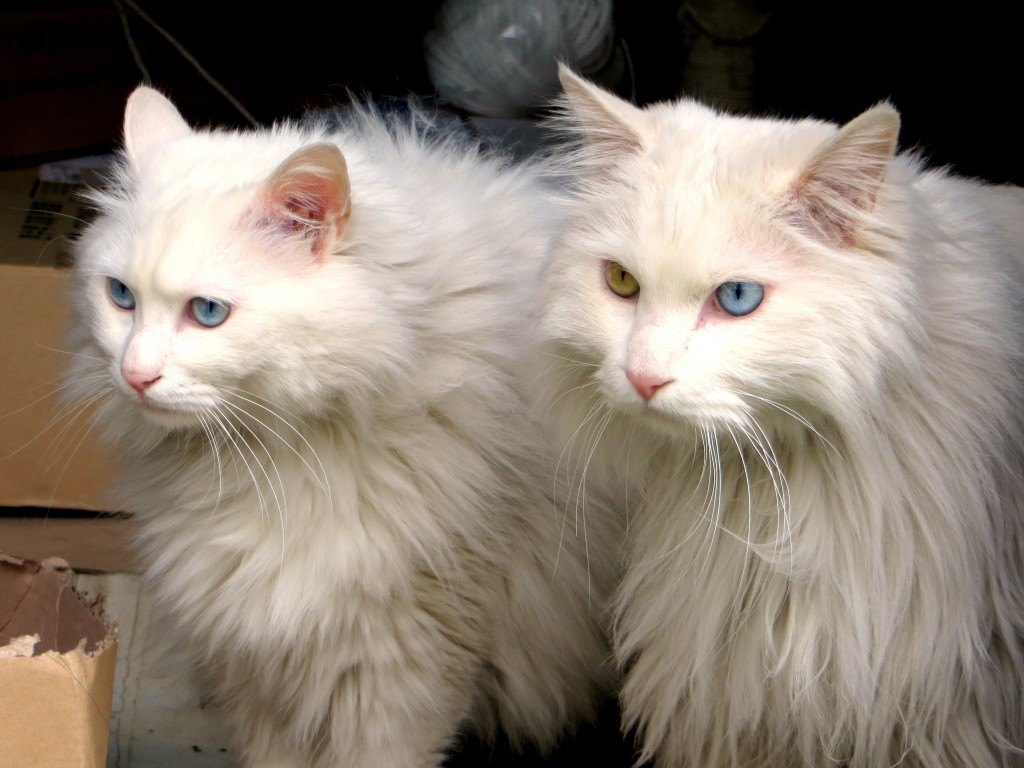 And then there were these beauties Mark discovered in Gyeongju. Notice that they both have one blue eye and one green eye.