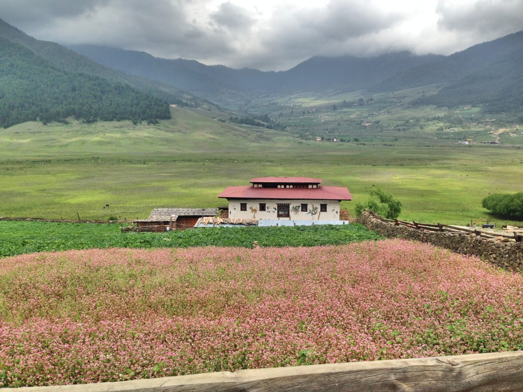 A buckwheat field with a big view of the Phobjikha Valley