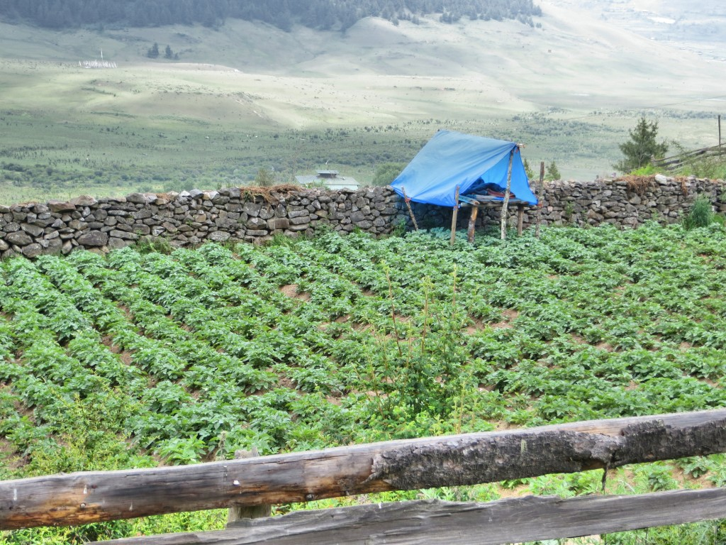 Another potato field, with the night guard's tent in the background to protect the crop from wild pigs