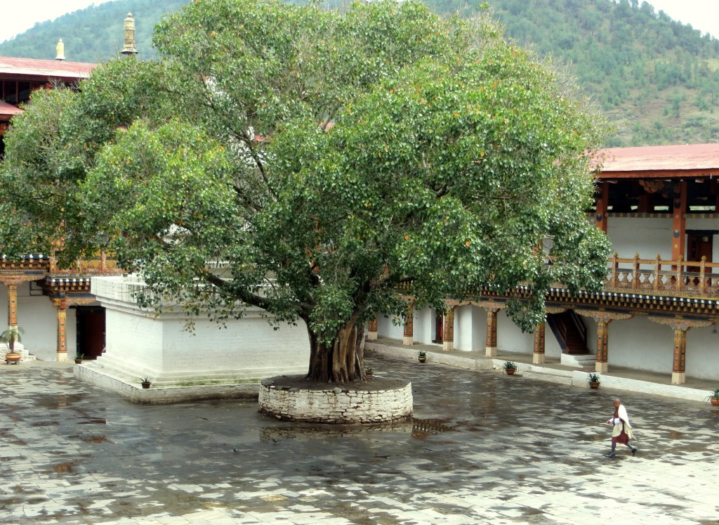 A tree in the Punakha Dzong planted by Jawaharlal Nehru when he was Prime Minister of India. What I like about it is that when he planted it in the late 1950s, Bhutan had no roads; literally, no roads. So, like anyone traveling to Bhutan's then capital in Punakha, he came by horse.