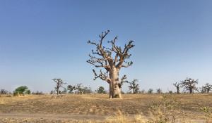 Lots and lots of baobabs in Senegal