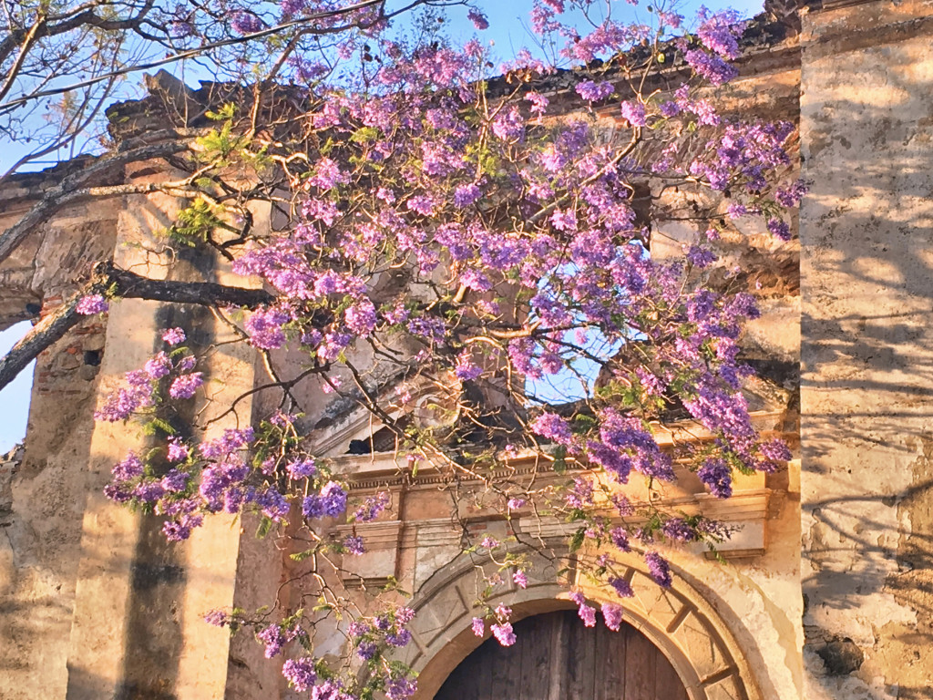 Flowering jacaranda and ruins of a church - just about perfect