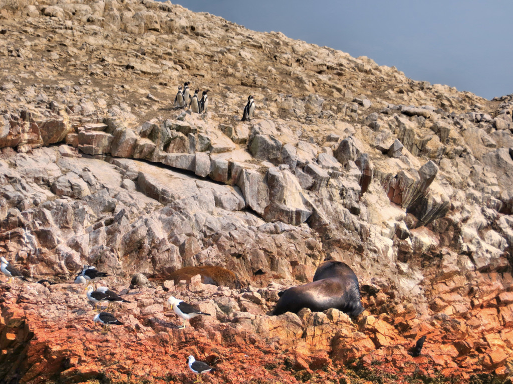 Back to the islands, at first I noticed the big sea lion - how did he get up there?? - but then saw the five penguins up towards the top of the picture. We watched them waddle around for a while.