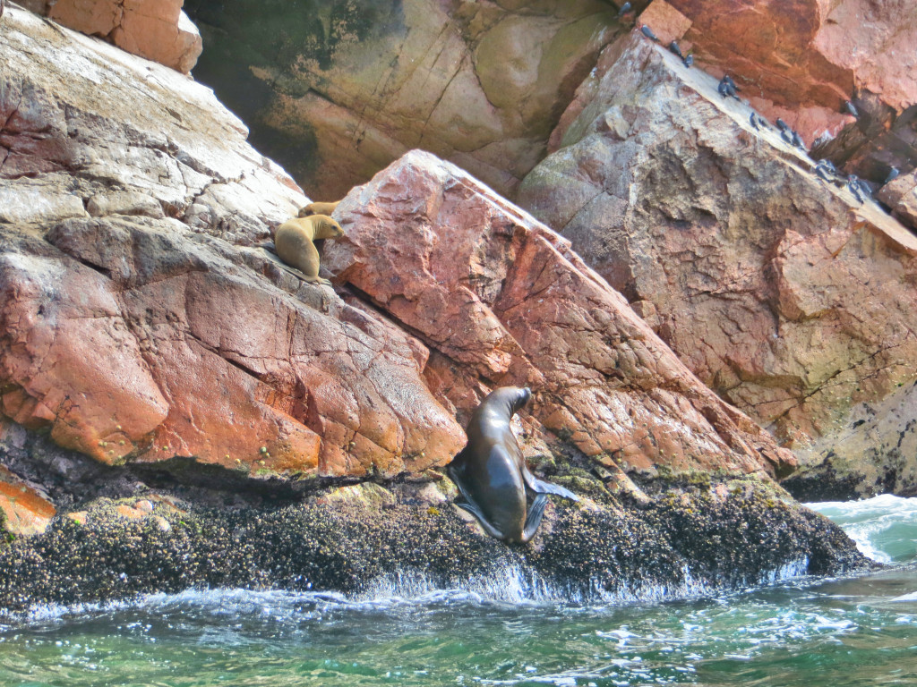 You could see these huge sea lions in the most unexpected places, wondering how in heaven's name they could get there. Turns out they use their flippers and claws to climb up on rocks; we watched for a while as this one tried to get up to her calves up there.