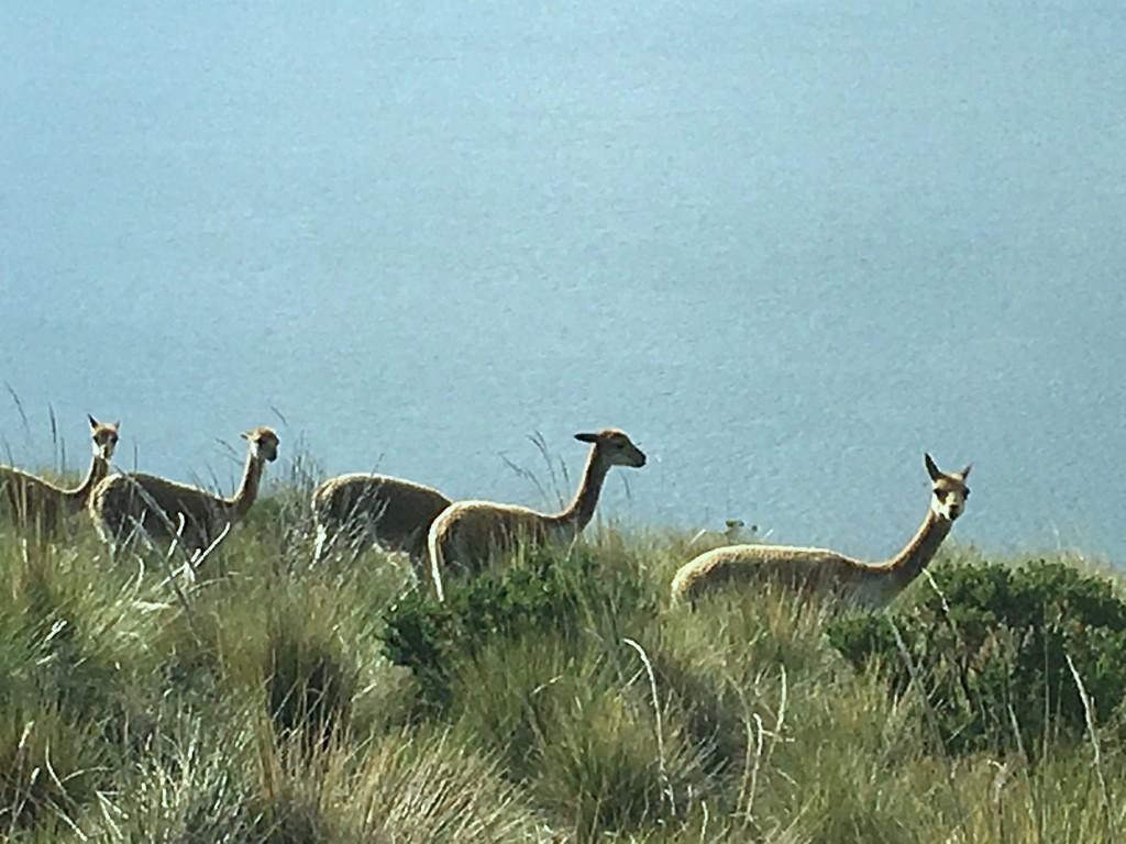 And more alpacas