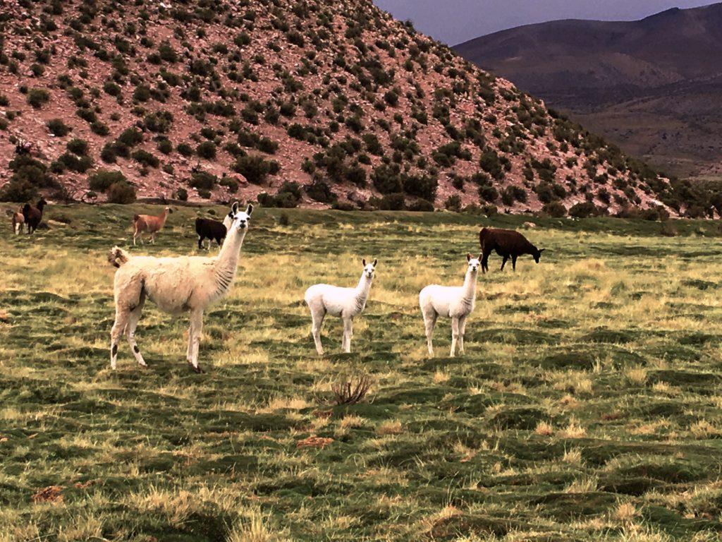More llamas on a hike