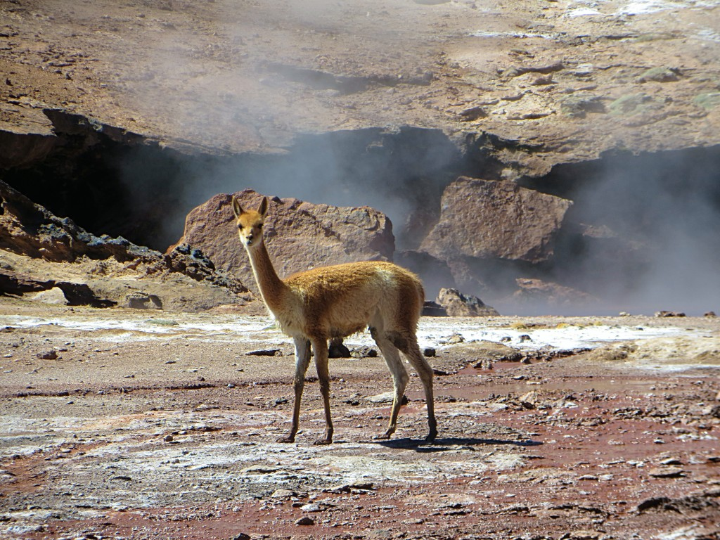 We weren't the only ones enjoying the geothermal fields. This vicuña was part of a little family of five passing through.