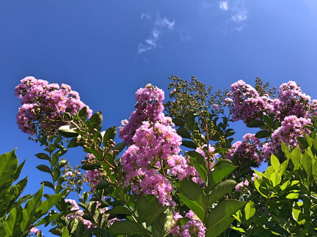 Flowering trees and blue skies